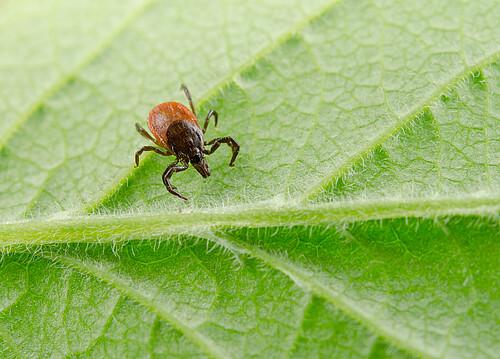 Ticks | Aeroxon Insect Control GmbH